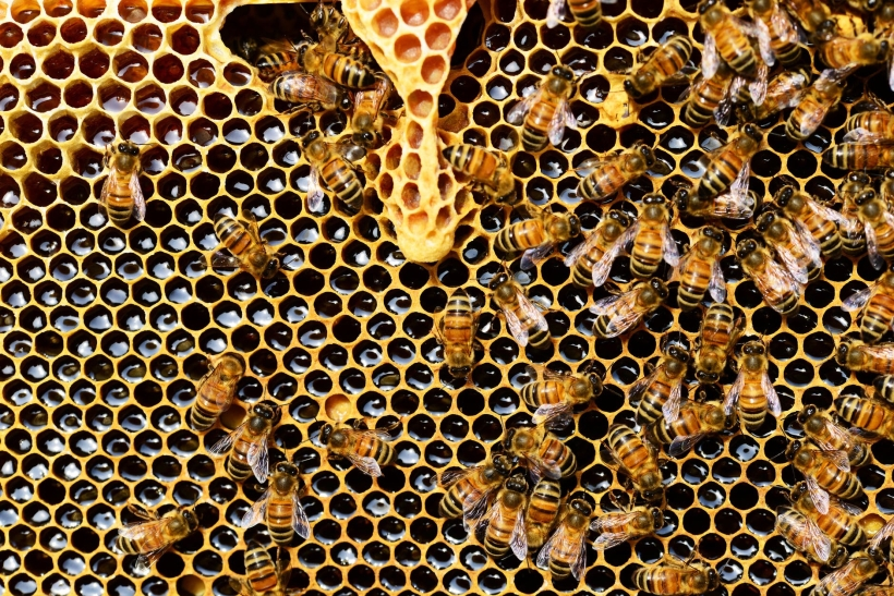 queen-cup-honeycomb-honey-bee-new-queen-rearing-compartment-56876
